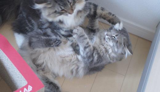 【猫の喧嘩】喧嘩と遊びの見分け方・やめさせ方